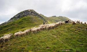 山坡上的羊群高清攝影圖片