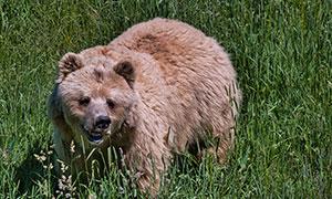 在青草丛中的棕熊特写摄影高清图片