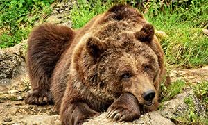 山间在卧着休息的棕熊摄影高清图片