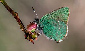 树枝花苞上的蝴蝶特写摄影高清图片