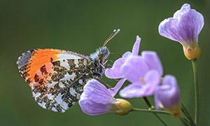 紫色花卉上的蝴蝶特写摄影高清图片