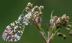 待放花苞上的蝴蝶特写摄影高清图片
