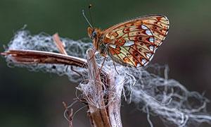 枯枝上的一只蝴蝶特写摄影高清图片