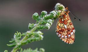 在辛勤授粉的蝴蝶特写摄影高清图片