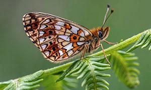 蕨类植物上的一只蝴蝶摄影高清图片