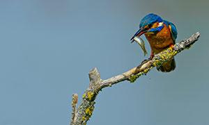 树枝上捉到小鱼的翠鸟摄影高清图片