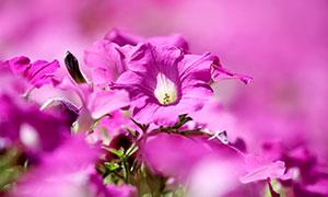 绽放的粉红色鲜花特写摄影高清图片