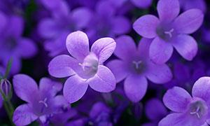 紫色鲜艳花朵近景特写摄影高清图片