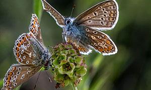 植物花苞上的两只蝴蝶摄影高清图片