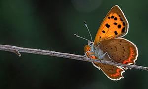 树枝上前行的蝴蝶特写摄影高清图片