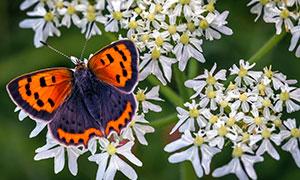 在花间繁忙工作的蝴蝶摄影高清图片