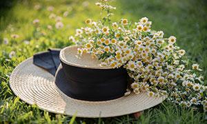 草地帽子上的菊花特写摄影高清图片