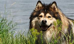 一只在草丛后面的狗狗摄影高清图片