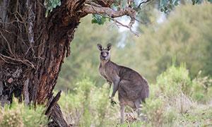 大树下保持警惕的袋鼠摄影高清图片