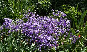 绿叶衬托的紫罗兰花卉摄影高清图片