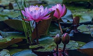 池塘里的荷花与花苞等摄影高清图片