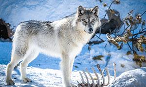 在猎物残骨旁驻足的狼摄影高清图片