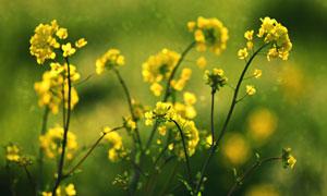 金色的油菜花特写摄影图片
