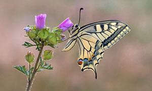 在鲜花之上停留的蝴蝶摄影高清图片