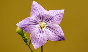 开出紫色花的植物特写主题高清图片