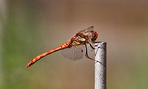 一只红色蜻蜓近景特写摄影高清图片