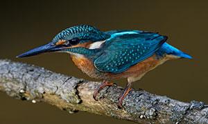 紧抓着树枝的一只翠鸟摄影高清图片