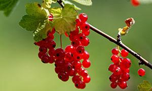 挂在枝头上的红色醋栗摄影高清图片