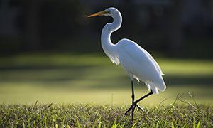 草地上单脚站着的白色苍鹭摄影图片