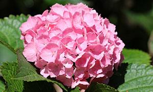 花期绽放的绣球花特写摄影高清图片