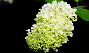 慢慢绽放的绣球花特写摄影高清图片