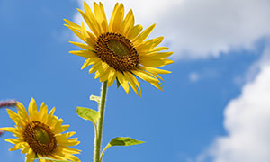 在蓝天白云下的向日葵摄影高清图片