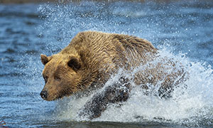 在水中出没觅食的棕熊摄影高清图片