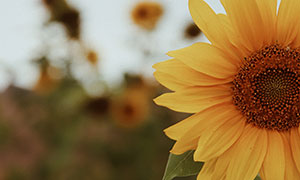 植物园里盛开的向日葵特写摄影图片