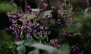 开出紫色小花的花草丛摄影高清图片