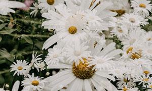 大大小小的白菊花特写摄影高清图片