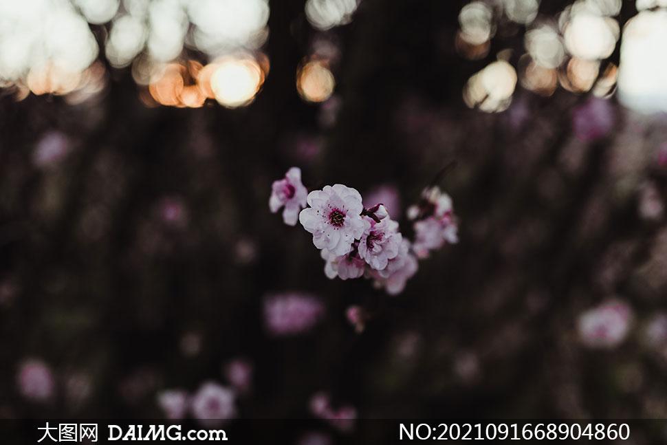 枝头上的樱花近景特写摄影高清图片