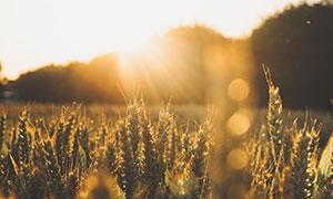 耀眼阳光下的麦田庄稼摄影高清图片