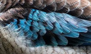动物身上彩色羽毛特写摄影高清图片