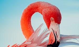 整理羽毛的火烈鸟特写摄影高清图片