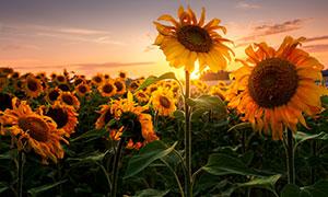 在天边霞光下的向日葵摄影高清图片