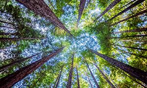 樹林參天大樹仰拍視角攝影高清圖片