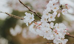 樹枝上的櫻花花朵特寫攝影高清圖片