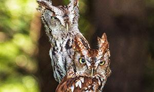 在枯樹上的兩只貓頭鷹攝影高清圖片