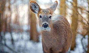 在樹林里出沒的鹿特寫攝影高清圖片