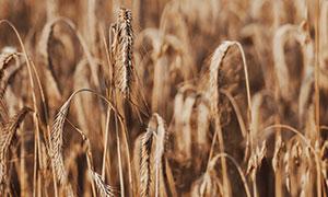 庄稼地里弯着腰的麦穗摄影高清图片