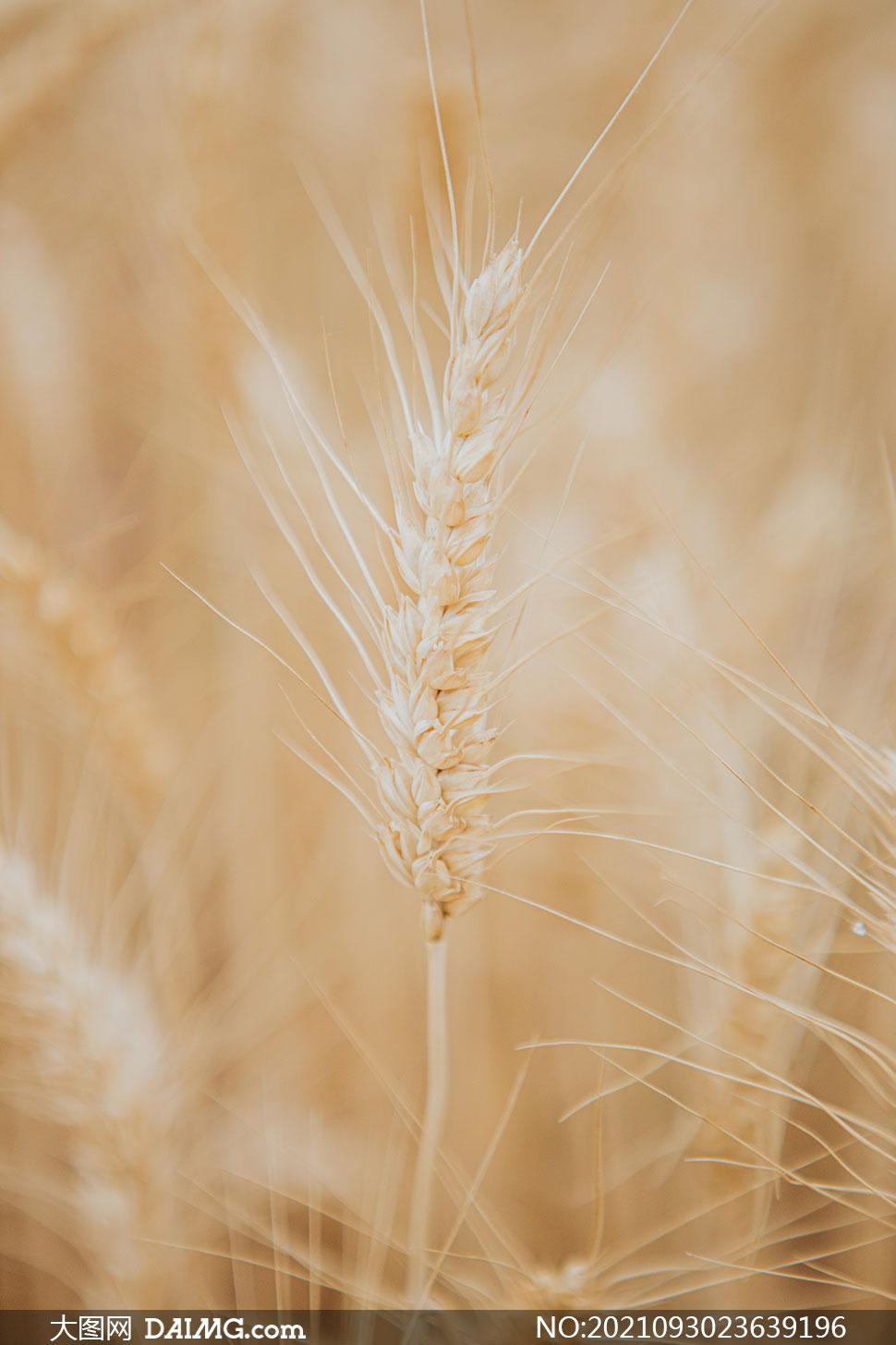 田地里的麦穗近景特写摄影高清图片