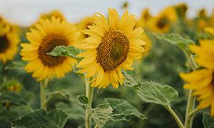 地里种植的向日葵植物摄影高清图片