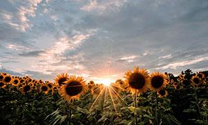 多云天空下的向日葵种植园高清图片