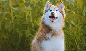 伸着长舌头的可爱狗狗摄影高清图片