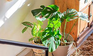 室内绿植与墙上装饰画摄影高清图片